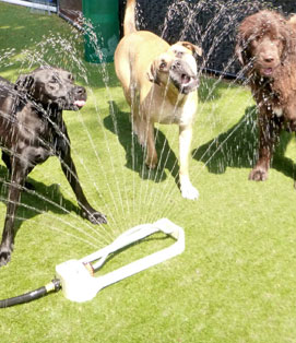 Paws and Play Dog Day Care Sprinkler Fun